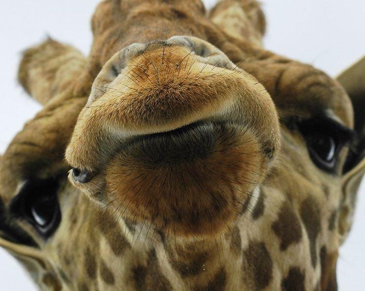 igiraffe nspiration